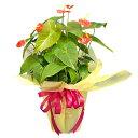 今年は個性的な贈り物を。【送料無料 敬老の日 観葉植物】アンスリューム レニー 敬老の日2006...