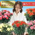 カーネーション鉢花鉢カバー付き5号鉢