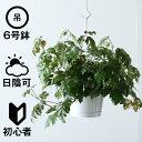 観葉植物 おしゃれ 吊り下げ シッサス・エレンダニカ(日陰 人気 6号鉢 プラ鉢 )の写真
