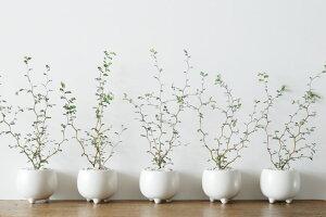観葉植物おしゃれ/ソフォラ・ミクロフィラ(人気珍しい個性的小さめリビング三つ足ポット)