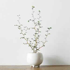 ソフォラ・ミクロフィラ(三つ足ボールポット・皿付き)