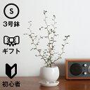 観葉植物 おしゃれ ソフォラ・ミクロフィラ(人気 陶器鉢 小さい リビング アヤナス 三つ足ポット)の写真