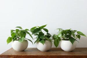 観葉植物おしゃれ/ヒメカズラ(日陰小さめプレゼントオフィスボールポット)
