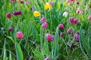 【フリチラリア球根】【10球入り1セット】カラー・赤紫と白混合