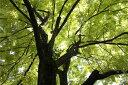 バラクラのシンボルツリーゴールデンアカシア