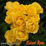 【大苗】 バラ苗 レヨンドゥソレイユ (FL黄) 国産苗 6号鉢植え品《IRO-IR3》
