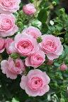 【予約大苗】バラ苗 フィレール (RM桃) 国産苗 6号鉢植え品《Kb-RM》 ※2月末までにお届け