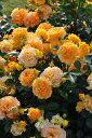 ◎即納【バラ苗】ゴルデルゼ (Ant橙黄) 国産苗 新苗 6号鉢植え品 ○《J-ANT15》 0725追加