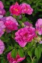 バラ苗【中苗】ロサガリカオフィキナリス (G桃) 国産苗 6号鉢植え品《J-OC15》
