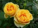 バラ苗【中苗】キャンドルライト (HT黄) 国産苗 6号鉢植え品《J-HT20》