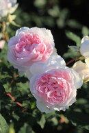 【新苗】バラ苗シャリマー(Sh桃)国産苗6号鉢植え品《J-RON》2019新品種春