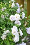 【大苗】バラ苗 スノーペイブメント (HRg白) 国産苗 6号鉢植え品【即納】《YM-B》