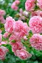 【大苗】バラ苗 ホーム&ガーデン (Ant桃) 国産苗 6号鉢植え品【即納】《YM-C_J-MC》