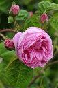 【大苗】バラ苗 ケンティフォリアブラータ (C桃) 国産苗 6号鉢植え品《J-OC20》 0321追加