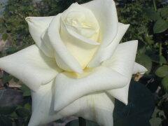 ★☆★ 【バラ苗】 ホワイトマスターピース  (HT白色) 国産苗 大苗 6号鉢植え品 ★ 【四...