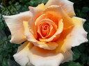 ※※※ 【バラ苗】 ジャストジョイ(ジャストジョーイ)  (HT橙色.) 国産苗 新苗 ○ 【...