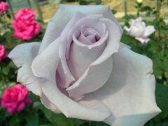 ※※※ 【バラ苗】 つるブルームーン (Cl紫) 国産苗 新苗 ○ 【つるバラ.ツルバラ.つるば...