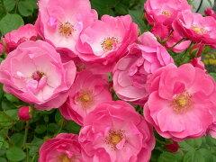 ◇【バラ苗】 アンジェラ (CL桃色)  国産苗 新苗 6号鉢植え品 ● 【つるバラ.ツルバラ....