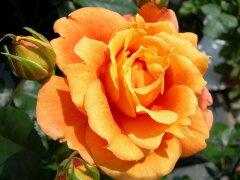 ◆◇◆【バラ苗】 万葉【マンヨウ】  (FL橙色) 国産苗 新苗 ● 【四季咲き.木立.中輪房...