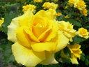 予約大苗【バラ苗】つるゴールドバニー (Cl黄) 国産苗 大苗 6号鉢植え品 ☆《YM-C_J-MC》※2月末までにお届け