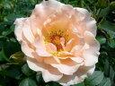 【バラ苗】 ロココ  (Cl杏) 国産苗 大苗 6号鉢植え品 ☆ 【つるバラ.ツルバラ.つるば...
