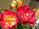 即納 【バラ苗】 チャールストン (FL複橙) 国産苗 新苗 6号鉢植え品 ● 【四季咲き.木...