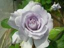 ※※※ 【バラ苗】 ミスティーパープル (F紫) 国産苗 大苗 6号鉢植え品 ☆ 1月末まで...