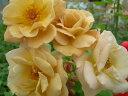 【バラ苗】 バタースコッチ (Cl茶色) 国産苗 新苗 ● 【つるバラ.ツルバラ.つるばら】
