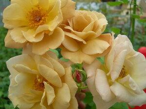 ◆◇◆【バラ苗】 バタースコッチ (Cl茶色) 国産苗 新苗 ● 【つるバラ.ツルバラ.つる...