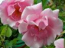 即納 【バラ苗】 スパニッシュビューティー (Cl桃) 国産苗 大苗 6号鉢植え…
