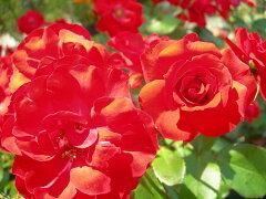 ◇【バラ苗】 ラセビリアーナ  (FL朱赤) 国産苗 新苗 6号鉢植え品 ● 【四季咲き.木立...