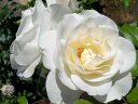◎即納【バラ苗】アイスバーグ (FL白色) 国産苗 新苗 6号鉢植え品 ○《J-FL10》