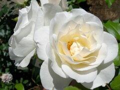 ★☆★ 【バラ苗】 アイスバーグ (FL白色) 国産苗 大苗 6号鉢植え品 ★ 【四季咲き.木...
