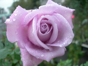 即納 【バラ苗】 ブルームーン (HT紫色) 国産苗 新苗 6号鉢植え品 ● 【四季咲き.木立.大...