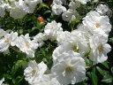 即納 【バラ苗】 アイスバーグ (FL白色)国産苗 大苗 6号鉢植え品 ☆ 【四季咲き.木立....