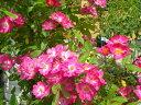 ワゴンセール☆即納 【バラ苗】 ロビンフッド (HMsk桃) 国産苗 大苗 6号鉢植え品 ☆ ...