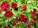 【バラ苗】 スタンダードローズ100cmレッドカスケード 8号鉢植え品