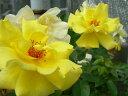 ◇【バラ苗】 ゴールデンシャワーズ (Cl黄色) 国産苗 新苗 6号鉢植え品 ● 【つるバラ...