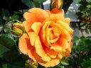 【バラ苗】 万葉   (FL橙色) 国産苗 大苗 6号鉢植え品 ★ 【四季咲き.木立.中輪房咲き...