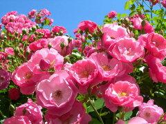【バラ苗】 アンジェラ  (Cl桃色) 国産苗 大苗 6号鉢植え品 ★ 【つるバラ.ツルバラ....