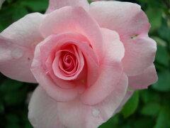 ◇【バラ苗】 ブライダルピンク (FL桃色.) 国産苗 新苗 6号鉢植え品 ● 【四季咲き.木立....