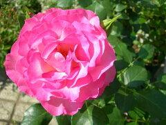 ◇【バラ苗】 ストロベリーアイス (FL覆桃) 国産苗 新苗 6号鉢植え品 ● 【四季咲き....