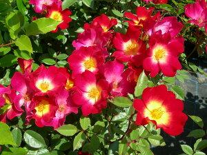 【バラ苗】 カクテル (コクテール)   (Cl複) 国産苗 大苗 6号鉢植え品 ☆ 【つるバラ....