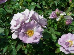◇◆◇ 【バラ苗】 つるたそがれ (Cl紫色) 国産苗 新苗 ● 【つるバラ.ツルバラ.つるば...