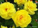 予約大苗【バラ苗】フリージア (FL黄色) 国産苗 大苗 6号鉢植え品 ☆《J-MB》※2月末までにお届け