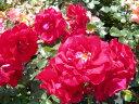 ◎即納【バラ苗】ガルテンツァーバー84 (FL赤色) 国産苗 新苗 6号鉢植え品 ○《J-FL20》 0725追加