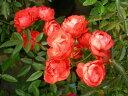 ※※※  【バラ苗】 ファザーズディ【ファーザーズディ】 (Pol橙) 国産苗 大苗 6号鉢植...
