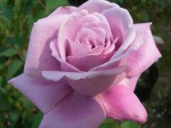 ◆◇◆【バラ苗】 シャルルドゴール (HT赤紫) 国産苗 新苗 ● 【四季咲き.木立.大輪.ハイ...