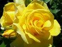 ◎即納【バラ苗】つるゴールドバニー (Cl黄) 国産苗 新苗 6号鉢植え品 ○《J-CL10》