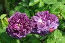 即納 【バラ苗】 カーディナルドゥリシュリュー (G紫) 国産苗 大苗 6号鉢植…